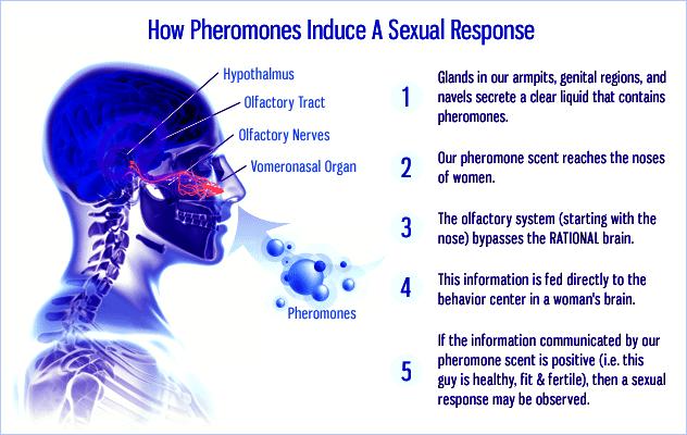 How-pheromone-perfume-work